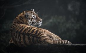 Картинка мех, тигр, полоски, хищник, отдых, профиль, дикая кошка