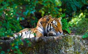 Картинка зелень, тигр, камни, хищник, лежит, полосатый, отдыхает, кусты