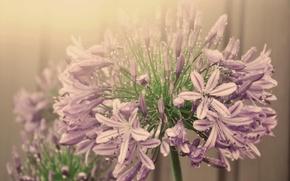Картинка капли воды, соцветие, туман, цветок, агапандус, розовый