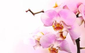 Картинка цветы, нежность, красота, лепестки, орхидеи, бутоны, орхидея, pink, flowers, beauty, фаленопсис, phalaenopsis, Orchid, petals, tenderness, …