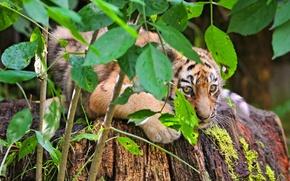 Картинка тигр, листва, куст, прячется, тигрёнок