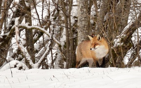 Картинка fox, trees, winter, snow, wildlife, hunting