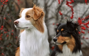 Картинка взгляд, фон, собаки
