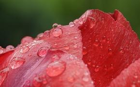 Обои роса, лепестки, цветок, капли