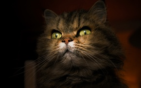 Картинка портрет, взгляд, кошка, фон, кот
