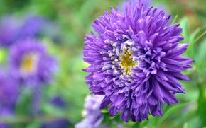 Картинка фиолетовый, зеленый, Цветок, астра