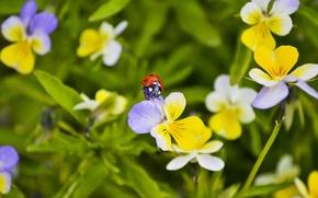 Картинка лето, макро, цветы, божья коровка, анютины глазки, обои от lolita777