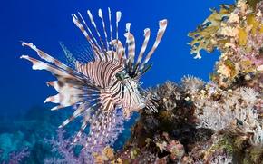 Картинка море, рыба, под водой, underwater, sea, fish, коралл, Lionfish, coral, Крылатки