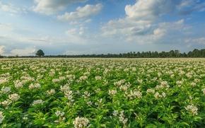 Картинка поле, Нидерланды, Голландия, Aa en Hunze, Drenthe, цветущий картофель