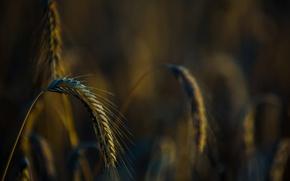 Картинка пшеница, поле, макро, фон, widescreen, обои, рожь, размытие, wallpaper, field, широкоформатные, background, macro, полноэкранные, HD …