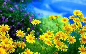 Обои ромашки,  жёлтые,  цветы,  полевые