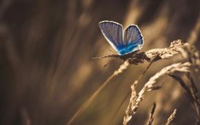 Картинка трава, макро, бабочка, обработка, колоски, сухая