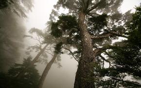 Картинка туман, дерево, сосна