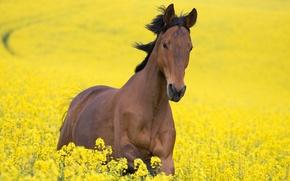 Картинка поле, цветы, желтый, конь, лошадь