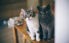 Картинка глаза, кошки, стол, стул, любопытство