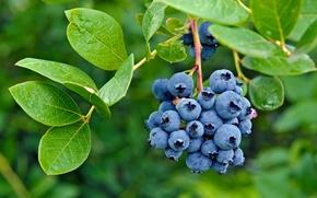 Обои berries, ягоды, blueberry, черника, fresh