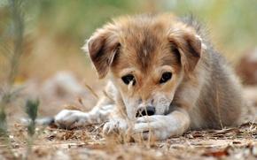 Картинка макро, щенок, згляд