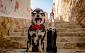Обои собака, чихуахуа, бутылка, пёсик, лестница, кока-кола, собачонка, ступеньки, бабочка, радость, язык