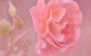 Обои нежность, лепестки, текстура, арт, капли, бутоны, роза