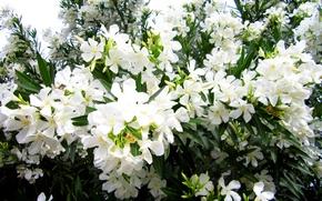 Картинка фото, Цветы, Белый, Олеандр, Крупным планом