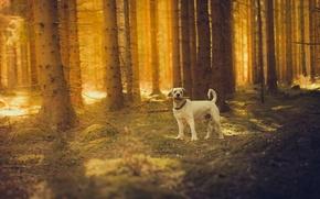 Обои собака, солнце, лес