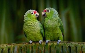 Картинка птицы, попугай, Эквадор, краснолобый амазон