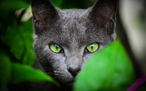 Картинка лето, кот, взгляд, листья, зеленые, окрас, уши, зеленые глаза