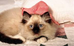 Обои взгляд, цвета, одеяло, котенок, расцветка, морда