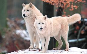 Картинка белый, взгляд, морда, снег, природа, хищник, Волки, арктический