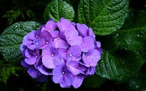 Картинка фиолетовый, капли, макро, гортензия, соцветие