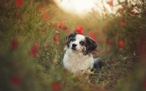 Картинка лето, взгляд, друг, собака