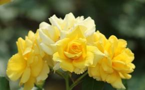 Картинка роза, куст, лепестки, бутон