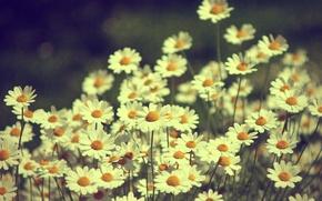 Обои цветы, природа, ромашки, растения