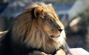 Обои кошка, грива, лев, морда, профиль