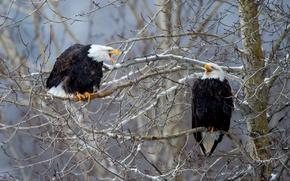 Картинка птицы, ветки, дерево, Белоголовый орлан