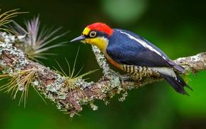 Обои птица, желтогрудый дятел, Бразилия, перья