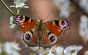 Картинка макро, бабочка, весна