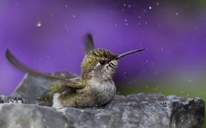 Картинка вода, капли, макро, птица, колибри