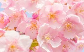Картинка макро, вишня, цветение, цветки