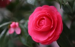 Обои цветок, макро, красный, фокус, лепестки, Камелия, японская камелия, Camellia japonica