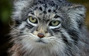 Картинка кот, хищник, палласов, манул