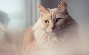 Картинка кошка, глаза, кот, взгляд, фон, портрет, рыжая, мягкая, нежная, пушистая, персиковая, женственная