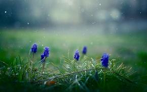 Картинка трава, цветы, снежинки, весна, синие, Мускари