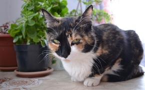 Картинка кошка, жопульдрина петровна, трёхцветная, жопульдра