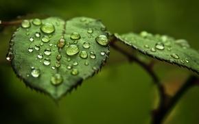 Картинка зелень, листья, вода, капли, макро, роса