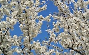 Картинка небо, цветы, дерево, весна, сад, яблоня