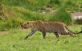 Обои леопард, трава, крадется, хищник, дикая кошка