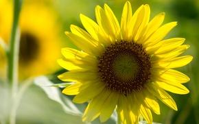 Картинка поле, цветок, цветы, желтый, фон, widescreen, обои, размытие, лепестки, ромашка, wallpaper, широкоформатные, background, полноэкранные, HD …