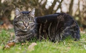 Картинка кошка, трава, кот, взгляд, отдых, ©Tambako The Jaguar