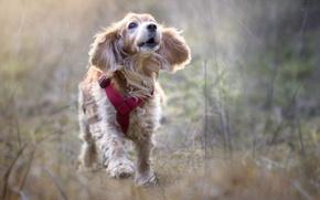 Картинка фон, собака, щенок, прогулка, бежит, идет, былинки, обои от lolita777